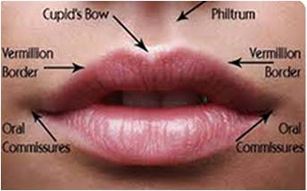Lip Anatomy | LipAugmentation.com |External Lip Anatomy